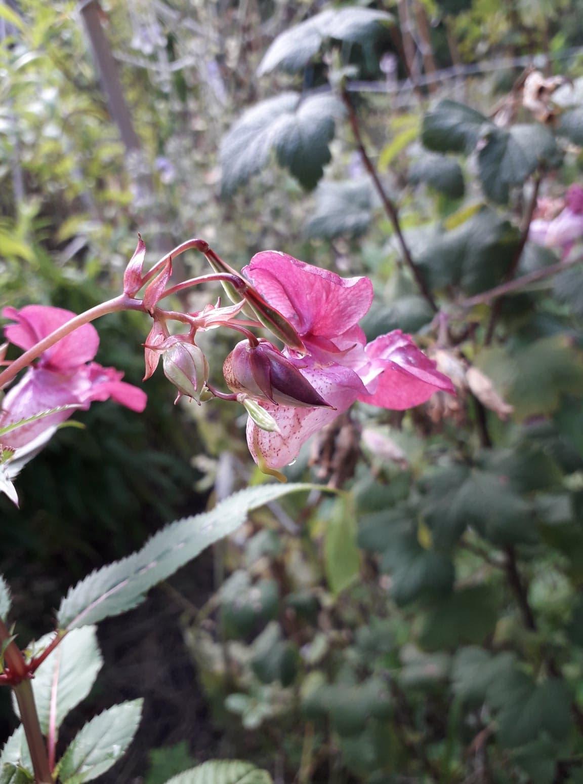 Balsamine de l'Himalaya, une Fleur de Bach