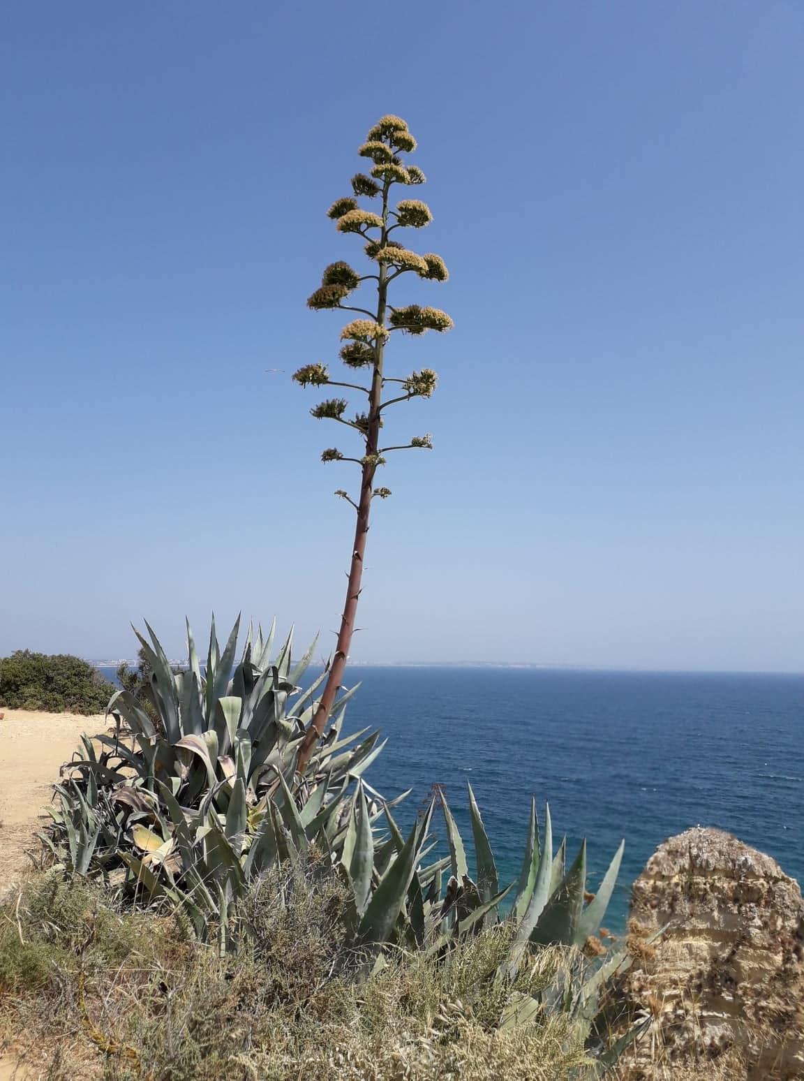 L'Agave fait partie des Essences Californiennes